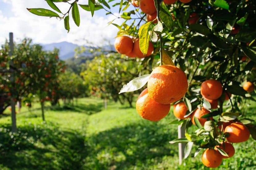 los naranjos padecen enfermedades a menudo