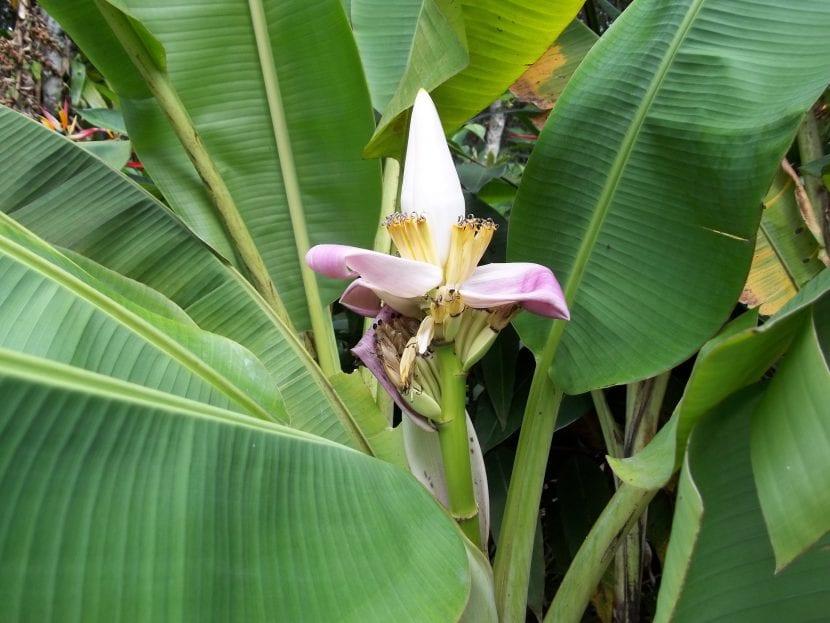 Flor del bananero, que tarda alrededor de 1 año en aparecer por primera vez