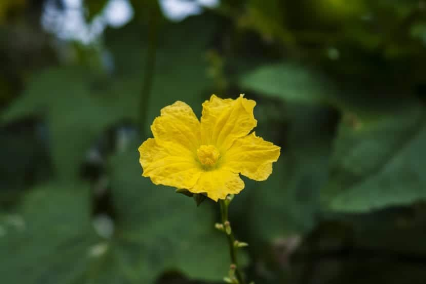 Flor de la esponja vegetal o Luffa cylindrica