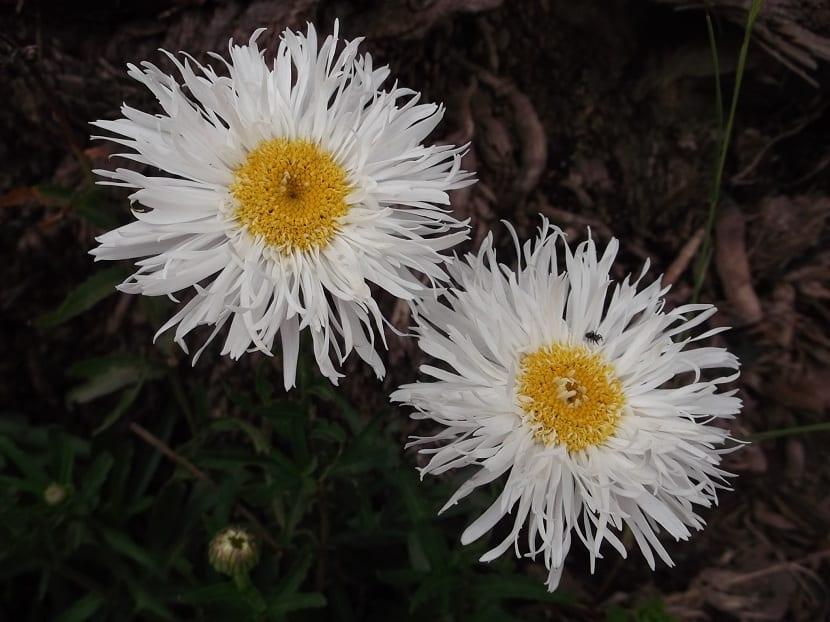 flor del crisantemo