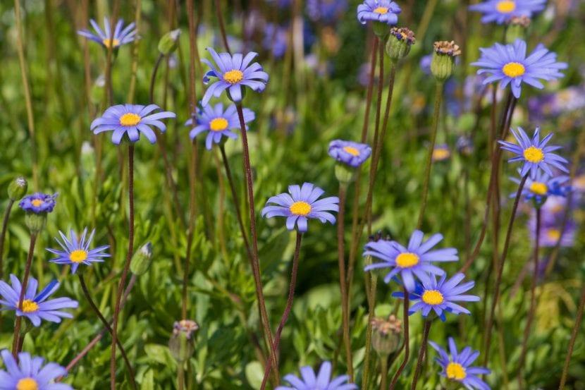 Flores azules para borduras