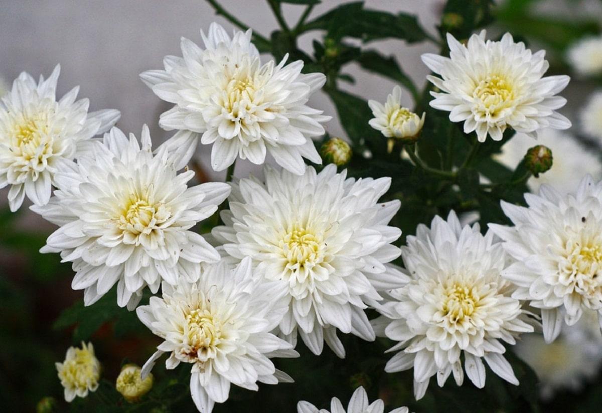 Los crisantemos blancos son muy bonitos