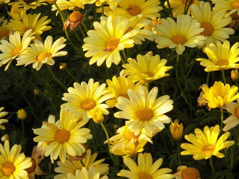 Flores amarillas para jardín