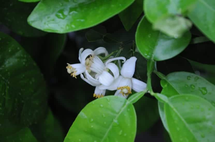 Preciosas flores de pomelo