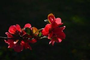 membrillo hapones o Chaenomeles japonica