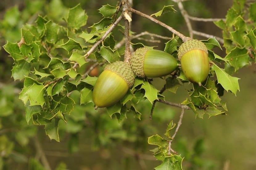 fruto de la coscoja