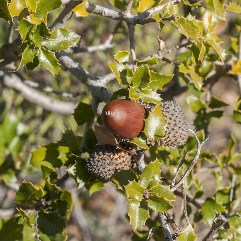 fruto del quercus coccifera
