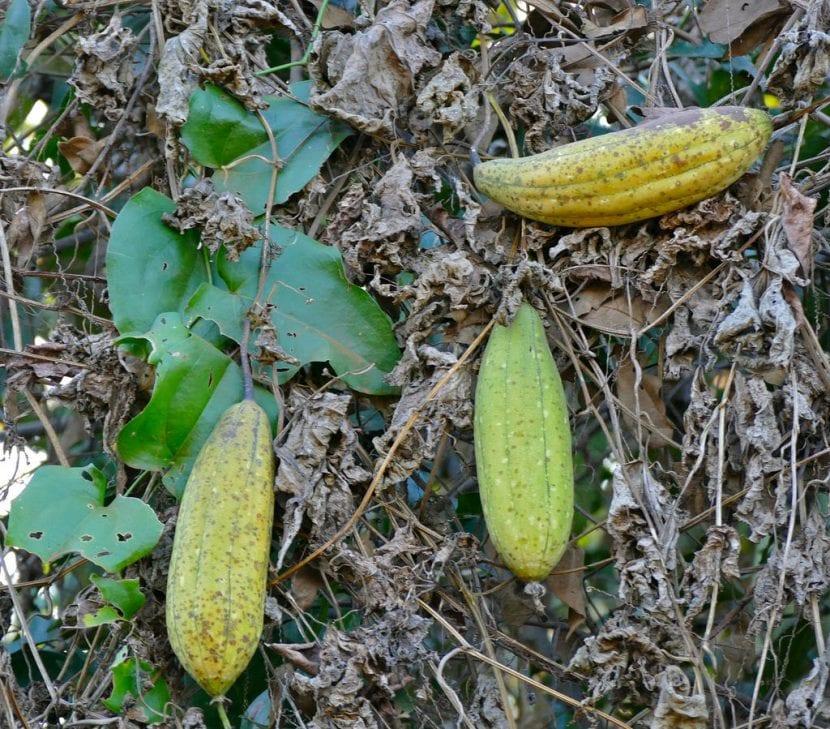 Frutos de la esponja vegetal o Luffa cylindrica