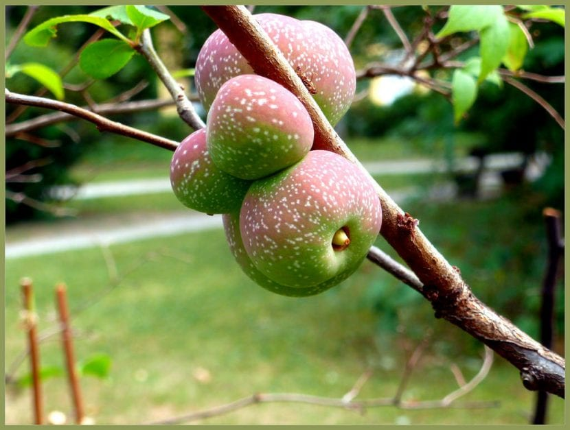 Frutos del membrillero del Japón