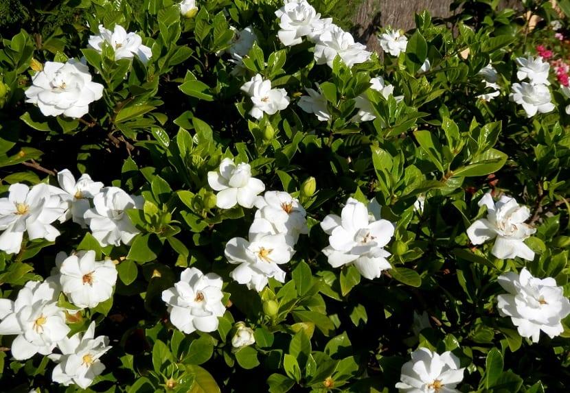 Gardenias (Gardenia jasminoides)