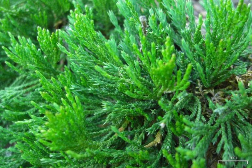 Detalle de las hojas de Juniperus horizontalis