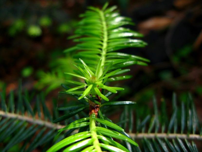 El crecimiento del Abies alba es lento, así que hay que tener paciencia