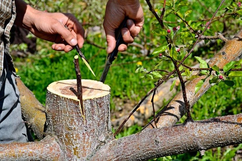 hacer un injerto de olivo es facil