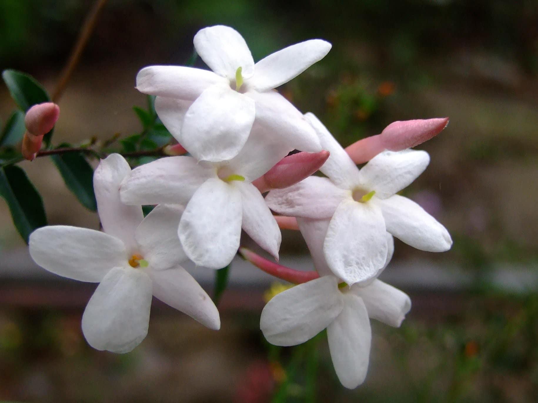 El jazmín chino tiene flores blancas