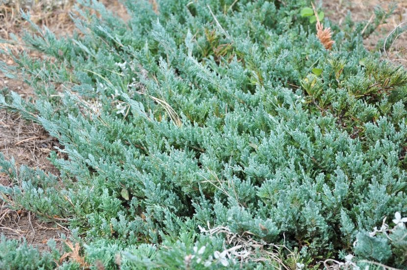 Ejemplar de Juniperus horizontalis