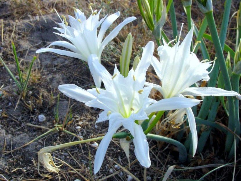 Detalle de las preciosas flores del pancracio