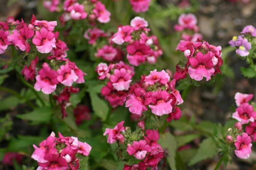 Ejemplar en flor de Nemesia 'Safari Pink'