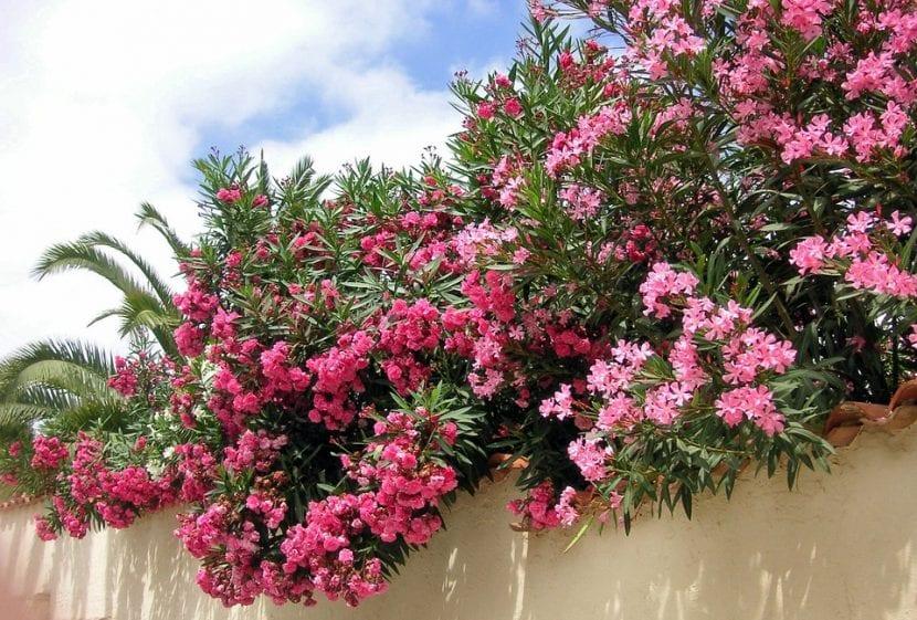 Adelfa o Nerium oleander en un jardín