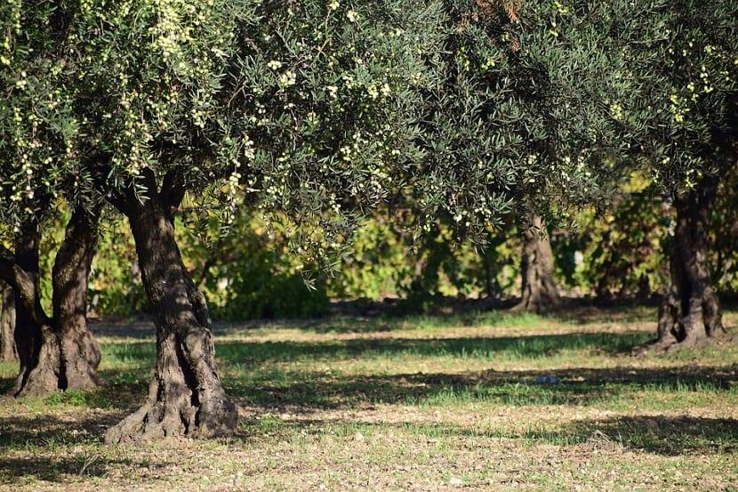 hacer un injerto de olivo