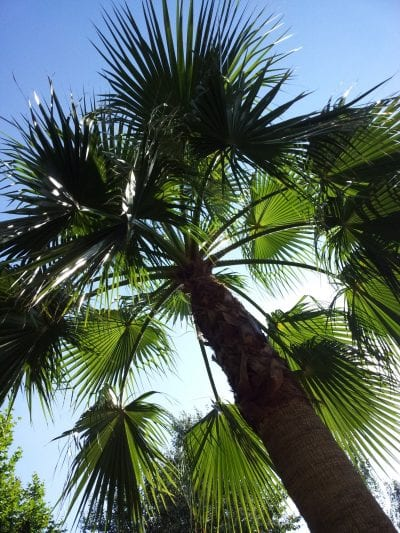Coloca tu Washingtonia robusta a pleno sol para que pueda crecer bien