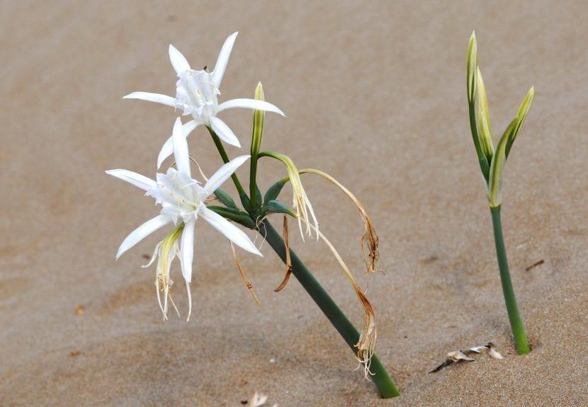 Pancracio en flor en su hábitat, el mar