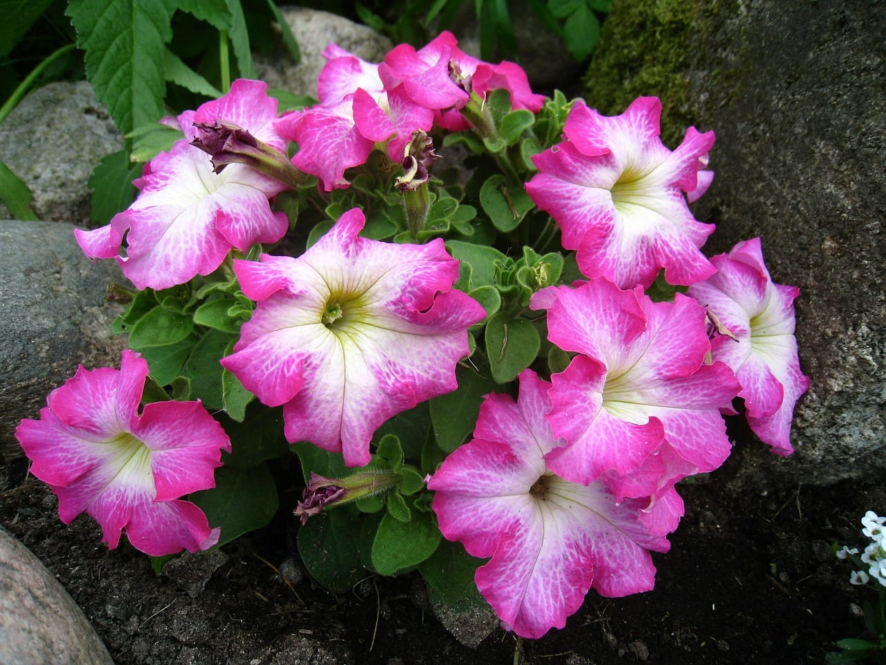 Disfruta de tus petunias plantándolas en macetas colgantes