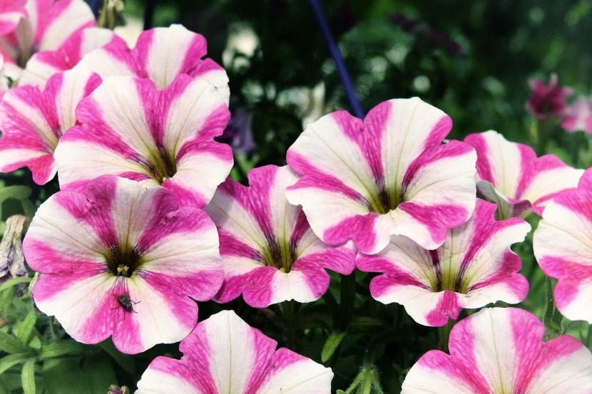 Las petunias son muy alegres y coloridas