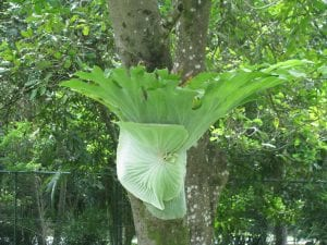 Ejemplar de Platycerium superbum, el helecho cuerno de alce