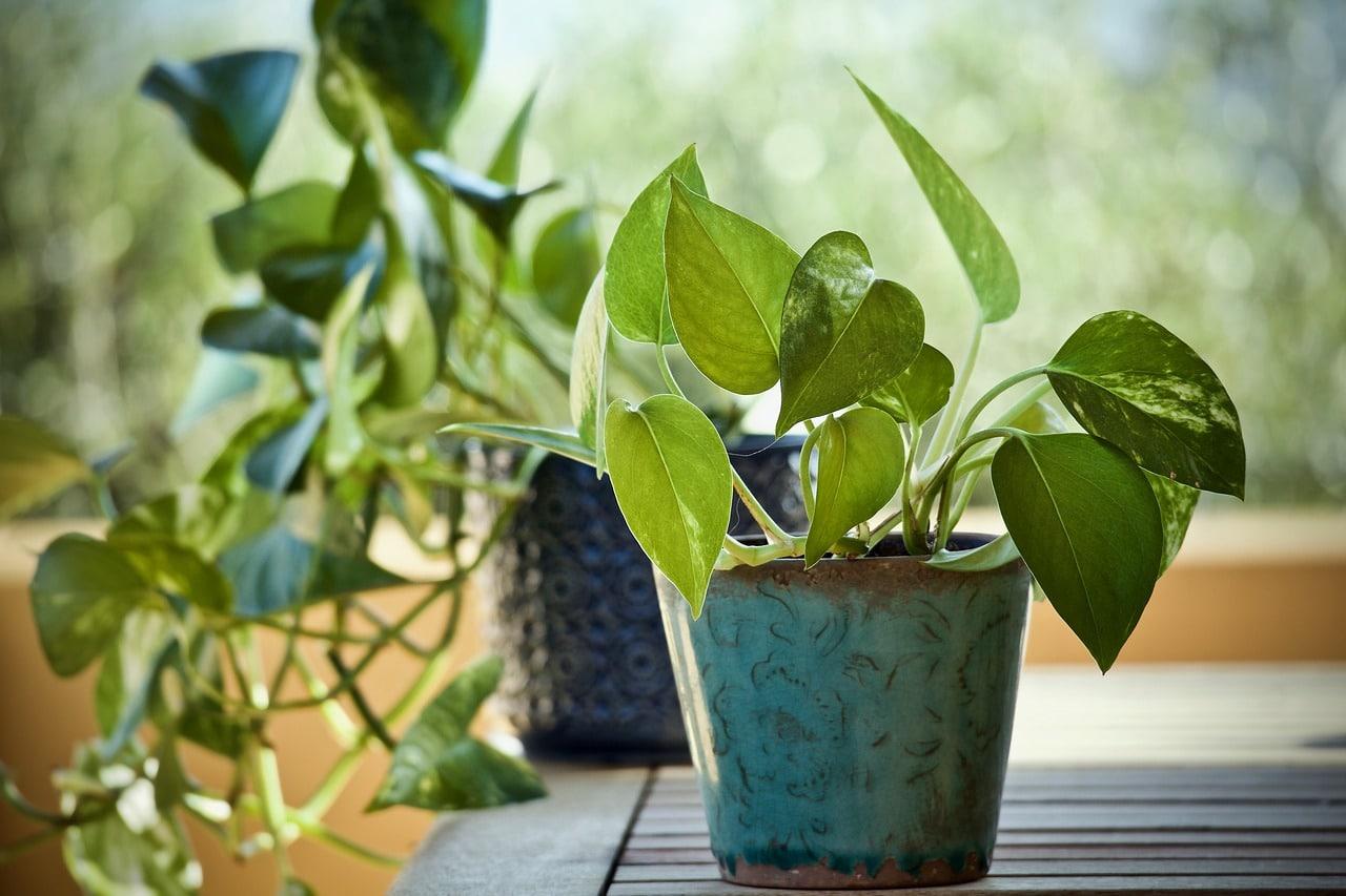 El potos es una planta que no ocupa mucho