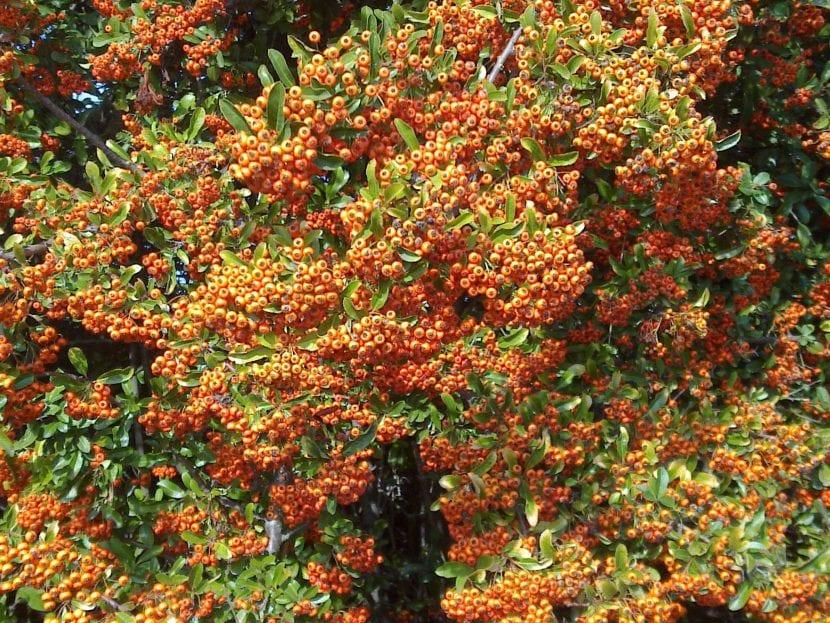 Pyracantha, un arbusto muy resistente a las heladas