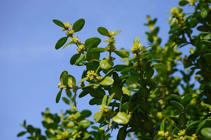 Las Flores del Buxus Sempervirens o Boj