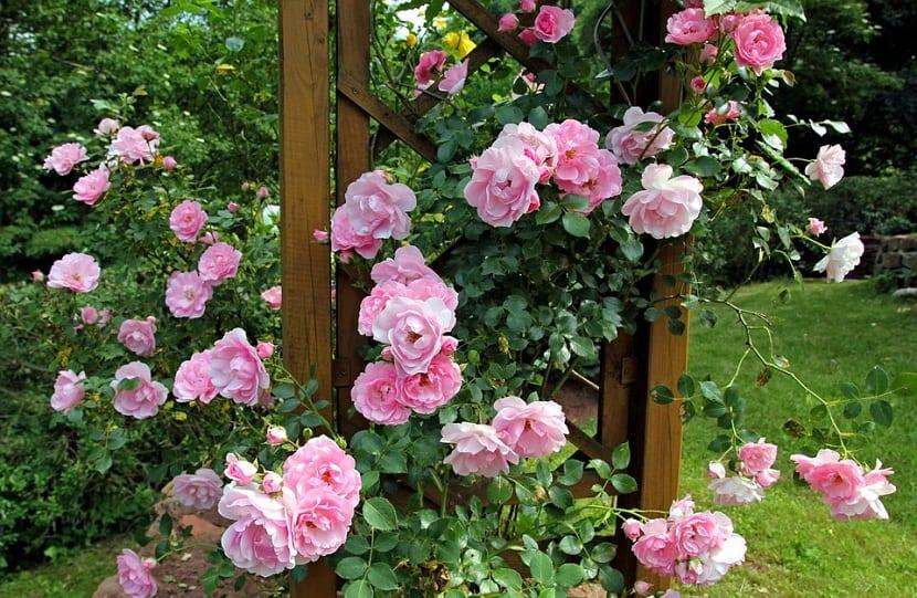 plantar un rosal de raiz desnuda