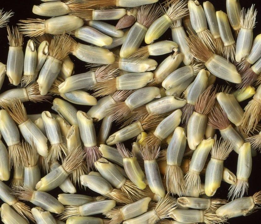 Multiplica tu aciano sembrando sus semillas