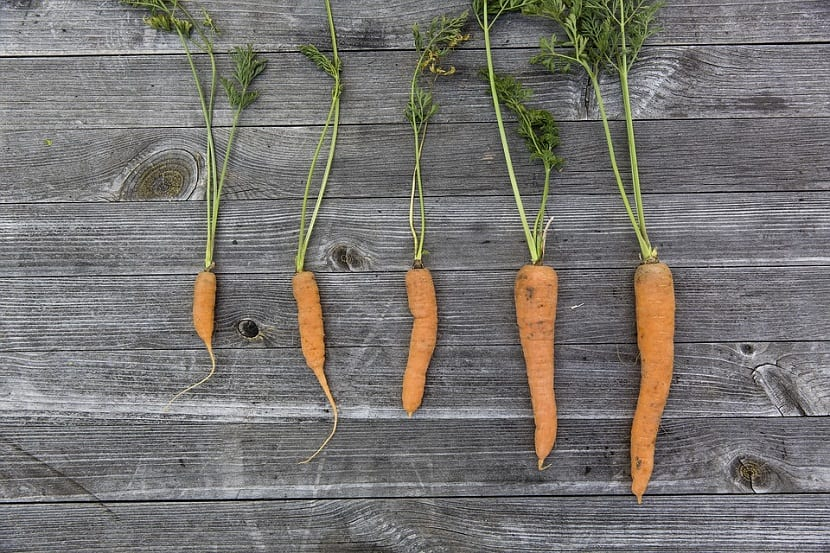 zanahorias de diferentes tamaños