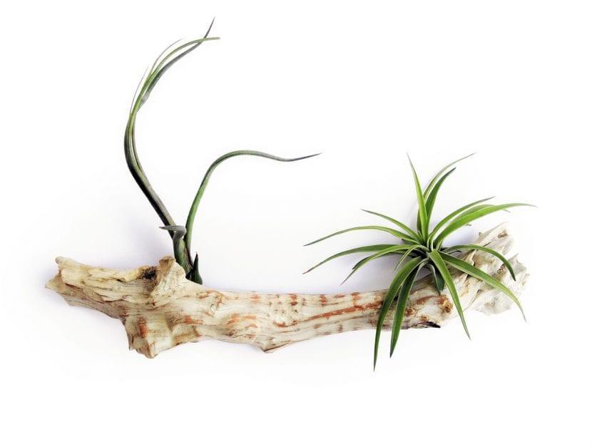 Cultiva tus tillandsias en troncos secos