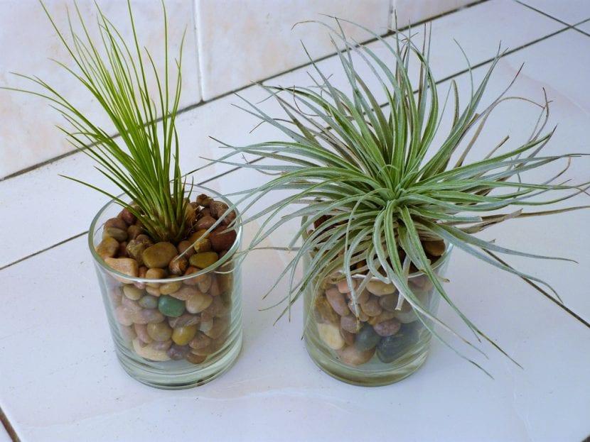 Tillandsias cultivadas en vasos