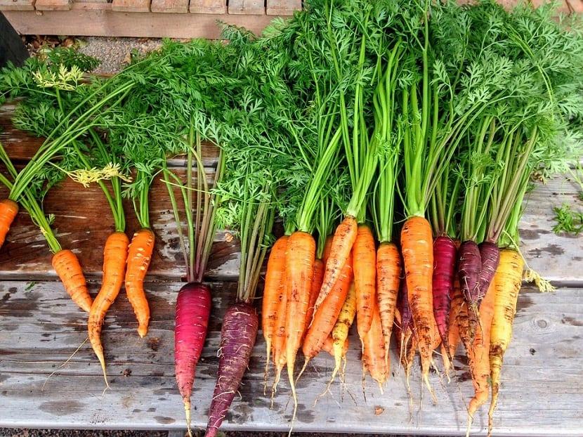 Diferentes tipos de zanahorias