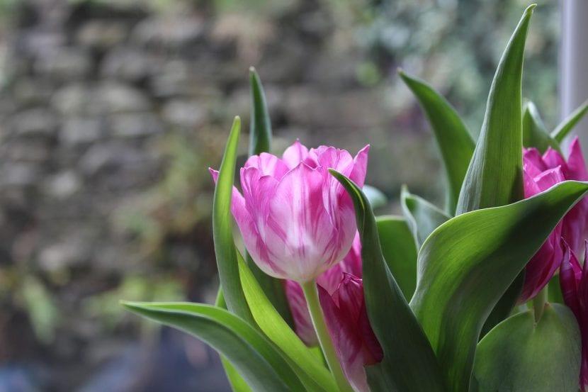 Planta tu tulipán en invierno