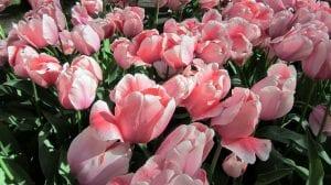 Planta los bulbos de tulipanes juntos