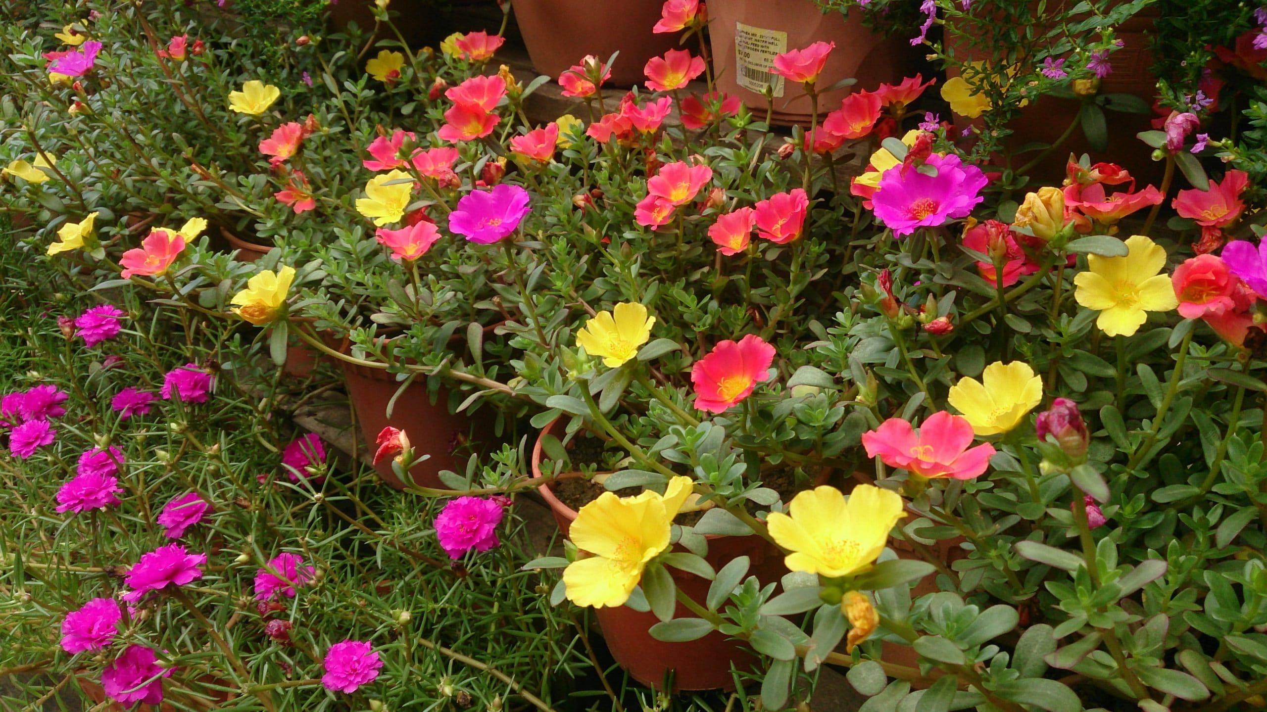 Planta de verdolaga en flor