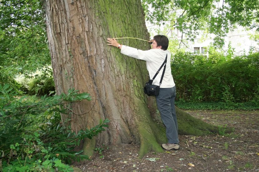 Tronco del Acer saccharinum