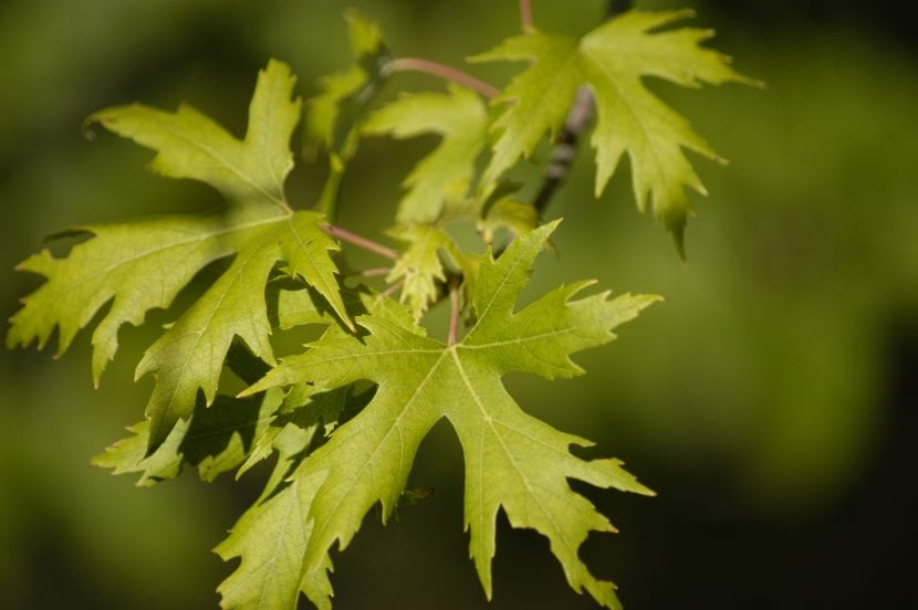 Hojas del Acer saccharinum