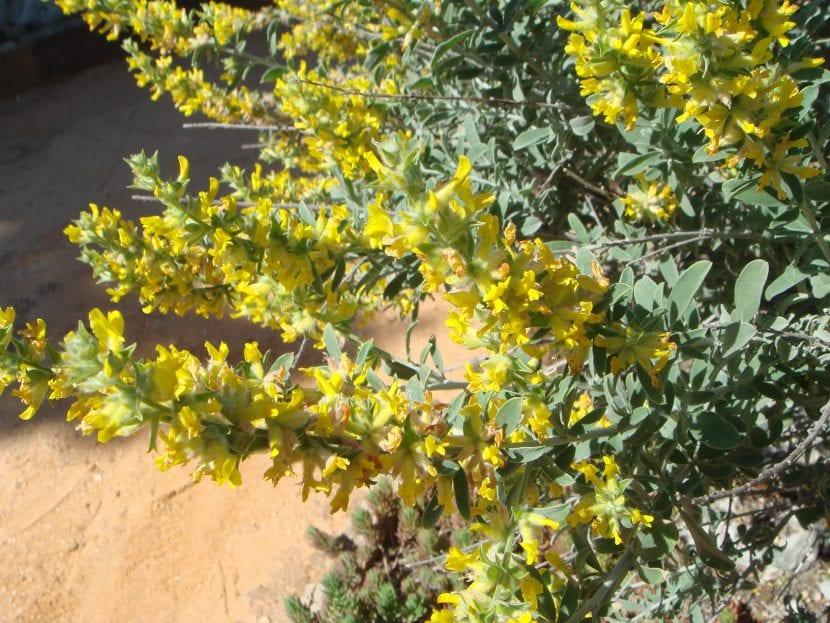 Anthyllis cytisoides es el nombre científico de la albaida