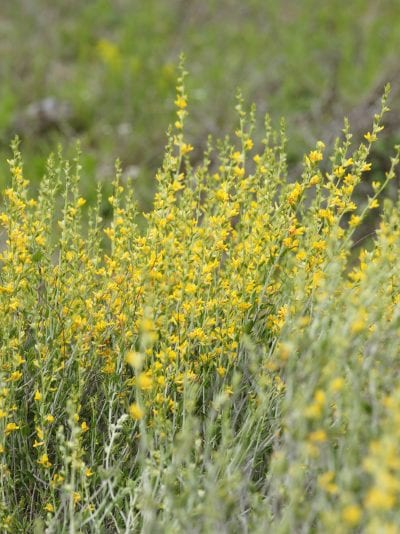 La albaida es una planta que florece abundantemente