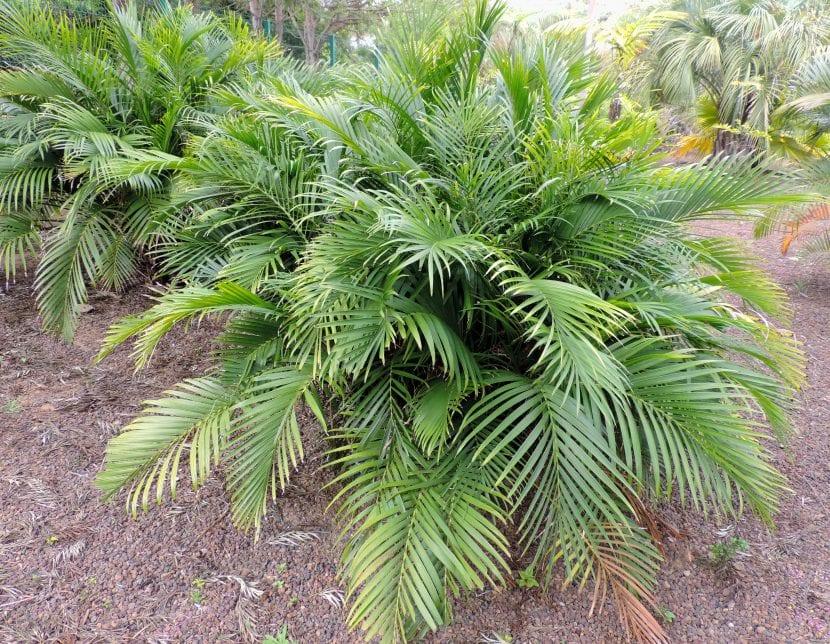 Ejemplar de la Chamaedorea cataractarum