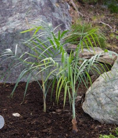 Ejemplar de Chamaedorea radicalis, una palmera rústica