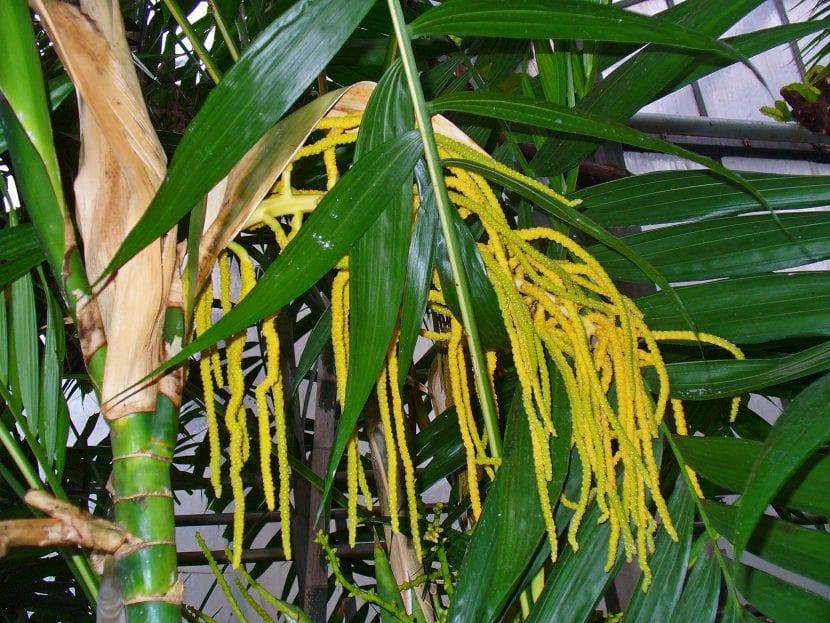 Chamaedorea tepejilote, un ejemplar en flor
