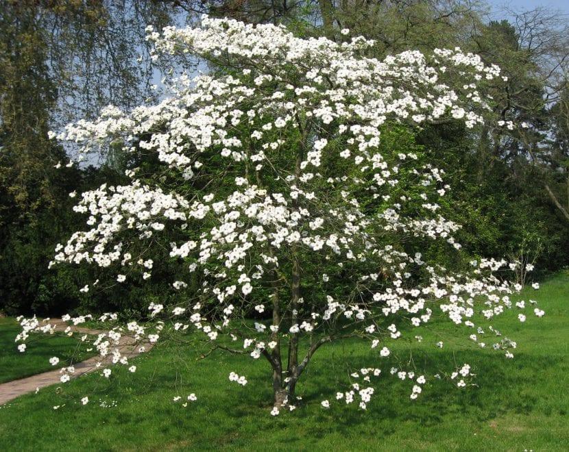 Ejemplar de Cornus florida en flor