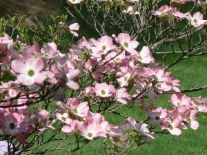 Flores del Cornus florida var. Rubra
