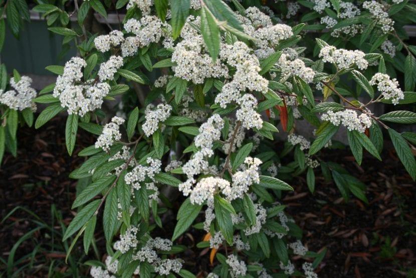 Un ejemplar de Cotoneaster salicifolius en flor